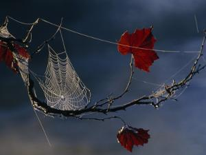 A Orb-Weaving Spider's Web on a Sycamore Tree Branch by Raymond Gehman