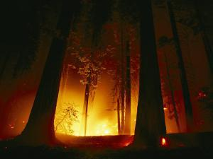 A Prescribed Fire Illuminates the Giant Sequoia Trees by Raymond Gehman
