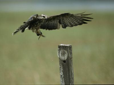 A Snail Kite Clutches an Apple Snail it Plucked from Lake Kissimmee