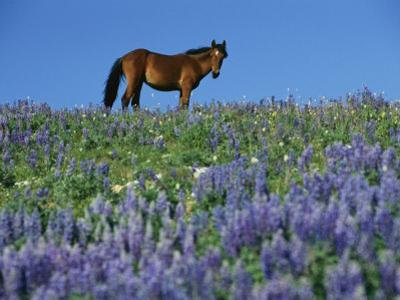 A View of a Wild Horse in a Field of Wildflowers by Raymond Gehman