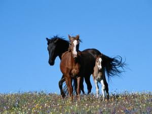 A View of Wild Horses in a Field of Wildflowers by Raymond Gehman