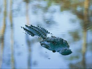 An American Alligator Floats Half-Submerged in Waters at Brookgreen Gardens Wildlife Park by Raymond Gehman