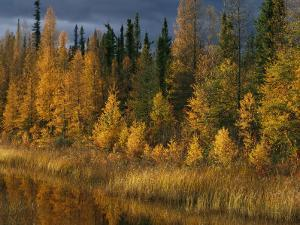 Autumn Colors are Displayed in the Sedges and Tamarack Trees by Raymond Gehman