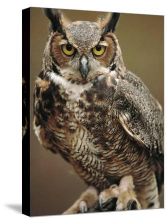 Captive Great Horned Owl by Raymond Gehman