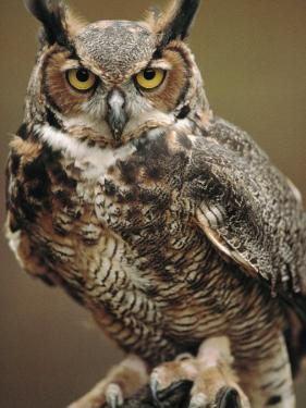 Captive Great Horned Owl by Raymond Gehman