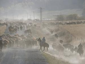Cattle Round-Up, Caribou National Forest, Idaho by Raymond Gehman