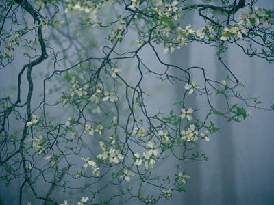 Dogwood Blossoms in a Foggy Forest by Raymond Gehman
