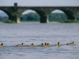Ducks Paddle Across the Susquehanna River Near the Rockville Bridge by Raymond Gehman