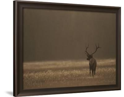 Elk or Wapiti Bull at Sunset, Yellowstone National Park, Wyoming by Raymond Gehman