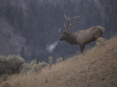Elk or Wapiti Bull on a Hillside in Yellowstone National Park by Raymond Gehman