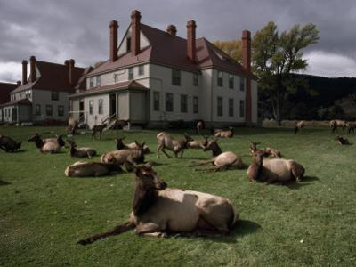 Elks Recline on the Grounds of Mammoth Hot Springs, Yellowstone