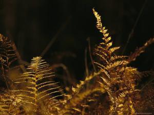 Ferns Turned Golden by the Autumn Season by Raymond Gehman