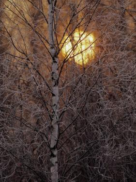 Frost-Covered White Birch Trees with the Sun Rising Behind by Raymond Gehman