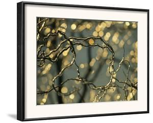 Frozen Twigs of a Corkscrew Willow Sparkle in the Sunlight by Raymond Gehman