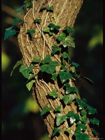 Ivy Growing Along a Tree Trunk by Raymond Gehman