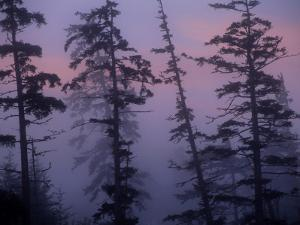 Morning Fog Shrouds Silhouetted Evergreen Trees by Raymond Gehman