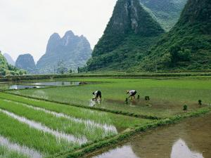Planting Rice with Limestone Karst Mountains in the Background Near Guilin by Raymond Gehman