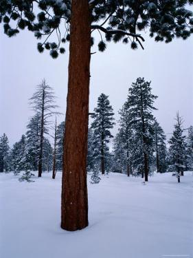 Ponderosa Pine in Snow by Raymond Gehman