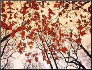 Red Maple and Autumn Sky by Raymond Gehman