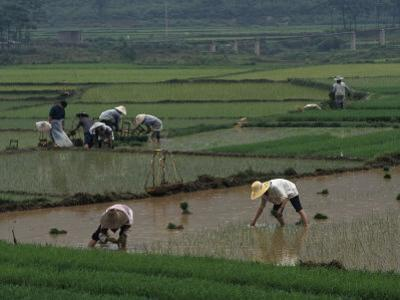 Rice Farmers in Paddies, Guangxi, China by Raymond Gehman