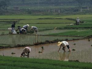 Rice Farmers in Paddies, Guangxi, China by Raymond Gehman