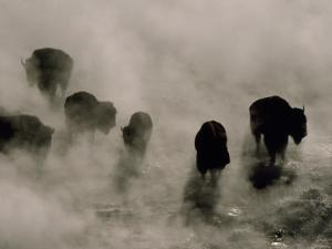 Silhouettes in the Mist, American Bison Search for Food, Midway Geyser Basin, Yellowstone, Wyoming by Raymond Gehman