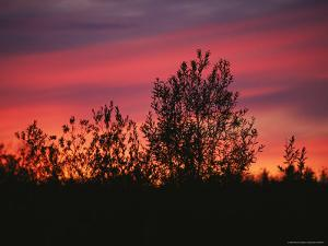 Sunset Silhouettes the Birch Trees Along the Mackenzie River by Raymond Gehman