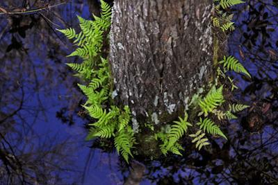 Swamp Ferns Grow in a Circle around a Cypress Tree in the Swamp