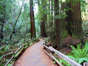 Trail and Redwoods in Muir Woods National Monument, California by Raymond Gehman