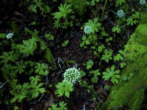 White Flowers in Muir Woods National Monument, California by Raymond Gehman
