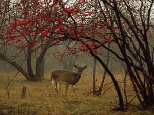 White-Tailed Deer Doe in a Foggy Forest Clearing in Autumn by Raymond Gehman