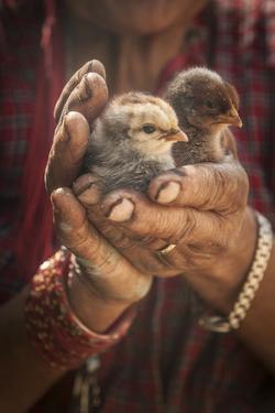 A Women Cuddles Her Baby Chickens Outside Of Kathmandu, Nepal by Rebecca Gaal