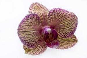 Orchid Close Up Studio Shot, on White Background by Rebecca Hale