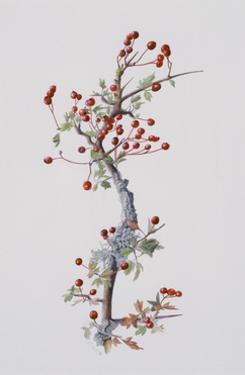 Fruiting Hawthorn, 1996 by Rebecca John