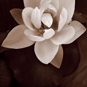 Amazon Lotus by Rebecca Swanson