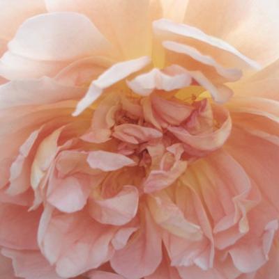 Heavenly Rose by Rebecca Swanson