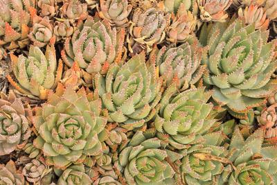 https://imgc.allpostersimages.com/img/posters/red-aloe-succulent-plants-old-town-san-diego-california_u-L-Q1D0RLI0.jpg?p=0
