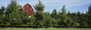 Red Barn Behind Apple Trees, Grand Rapids, Michigan, USA