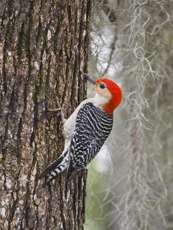 https://imgc.allpostersimages.com/img/posters/red-bellied-woodpecker-texas-usa_u-L-PHAF1A0.jpg?p=0