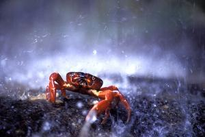 Red Crab (A Land Crab) Single on Migration