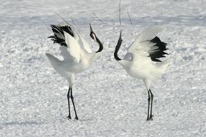 Red-Crowned Crane Pair Displaying