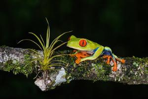 Red-Eyed Tree Frog (Agalychnis Callidryas), Sarapiqui, Costa Rica