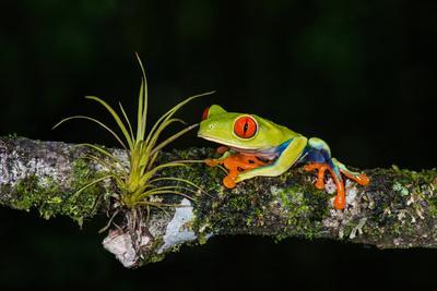 https://imgc.allpostersimages.com/img/posters/red-eyed-tree-frog-agalychnis-callidryas-sarapiqui-costa-rica_u-L-PWED9V0.jpg?artPerspective=n