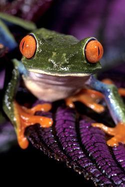 Red-Eyed Tree Frog on Purple Leaf