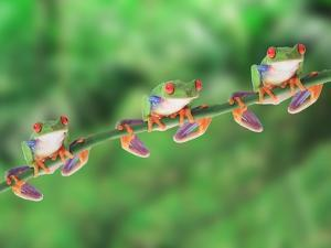 Red-Eyed Tree Frogs on Branch