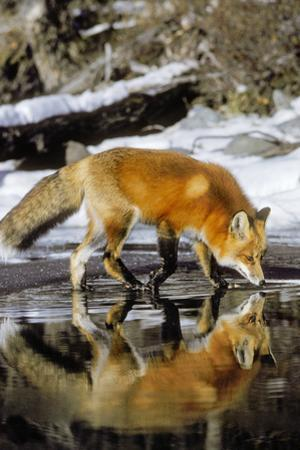 Red Fox Along Edge of Freezing Lake, November