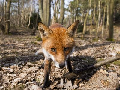 https://imgc.allpostersimages.com/img/posters/red-fox-close-up-wide-angle-view-of-young-male-fox-lancashire-uk_u-L-Q10QZU90.jpg?p=0