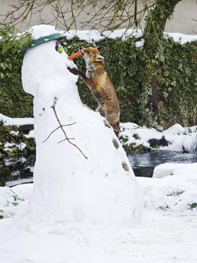 Red Fox Stealing Snowman's Nose in Winter Snow