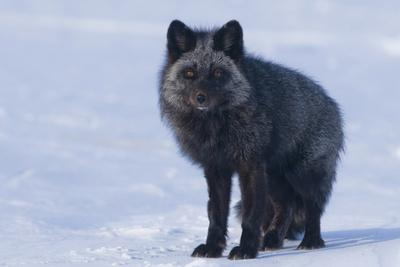 https://imgc.allpostersimages.com/img/posters/red-fox-vulpes-vulpes-adult-in-silver-phase-anwr-alaska-usa_u-L-PN6UCW0.jpg?p=0