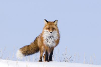 https://imgc.allpostersimages.com/img/posters/red-fox-vulpes-vulpes-adult-on-the-arctic-coast-anwr-alaska-usa_u-L-PN6UCH0.jpg?artPerspective=n